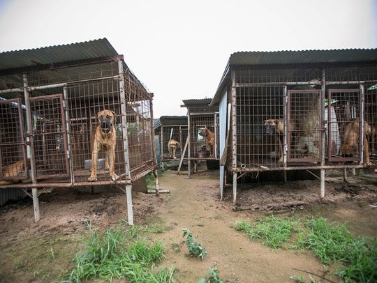 Dogs are shown locked in cages at a dog meat farm in