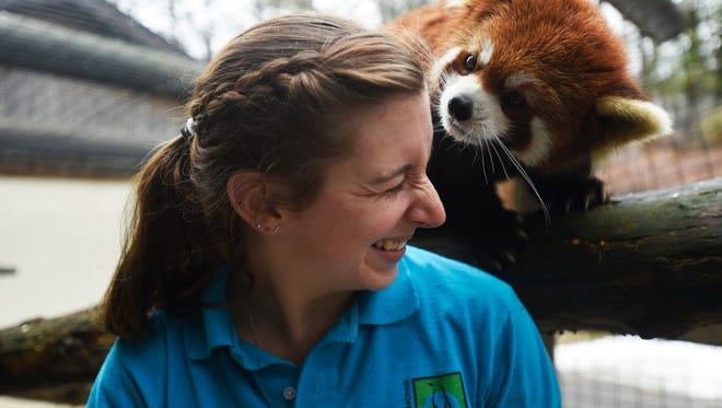 Zookeeper Robyn Melechinsky smiles as a Red Panda searches for more apple slices after being fed on Friday afternoon.