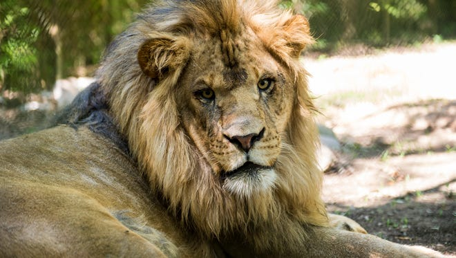 A male African lion named DJ lies in the shade in the lion habitat at Zooisiana - Zoo of Acadiana in Broussard, La., Thursday, June 4, 2015. Two young male African lions were acquired by the zoo with the animals being delivered on Tuesday evening.