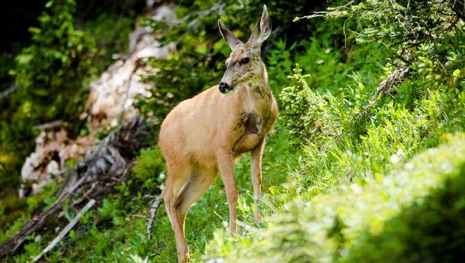 A deer grazes in Rocky Mountain National Park, Thursday, July 23, 2015.