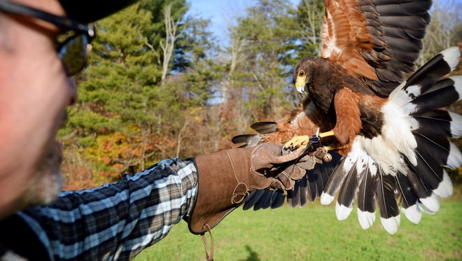 Sam Adams, a Harris's Hawk, comes in for a landing to grab a piece of meat from Citizen-Times reporter Dale Neal's hand as Jeff Curtis gives a falconry demonstration at his home in Weaverville on Thursday, Oct. 28, 2015.