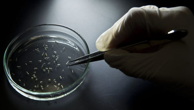 A researcher collects larvae of Aedes aegypti mosquitos in a petri dish at a lab of the Institute of Biomedical Sciences of the Sao Paulo University, on January 8, 2016 in Sao Paulo, Brazil. Researchers at the Pasteur Institute in Dakar, Senegal are  in Brazil to train local researchers to combat the Zika virus epidemic.