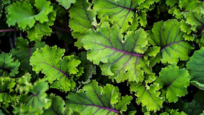 Redbor kale at Red Wagon Plants on Shelburne Falls Road in Hinesburg.