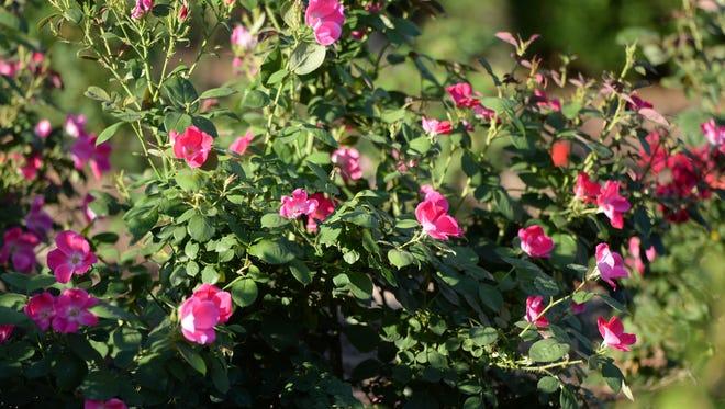 The Richmond Rose Garden