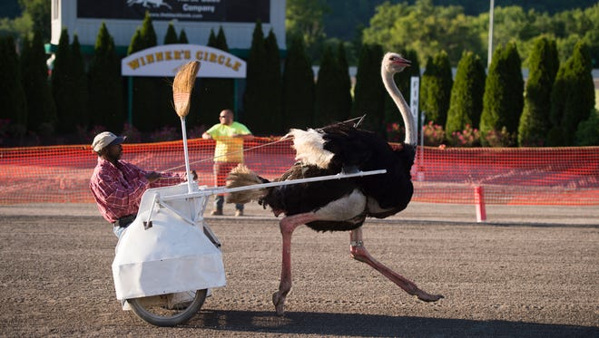 Tioga Downs hosted ostrich and camel races between the regularly scheduled horse races for the night in front of a packed house on Friday, June 17, 2016. Each race was short with the animals quickly straying from their assigned courses.