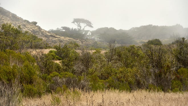 Trees and shrubs at the shore level of Santa Rosa Island survive drought conditions with help from fog moisture.