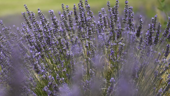 Fields of lavender flower on the Albion  plateau, near Sault, on July 29, 2014. AFP PHOTO / ANNE-CHRISTINE POUJOULAT        (Photo credit should read ANNE-CHRISTINE POUJOULAT/AFP/Getty Images)