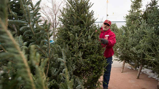 Allen Goodness, nursery manager, inspects a fir tree at Fort Collins Nursery Saturday, December 10, 2016.