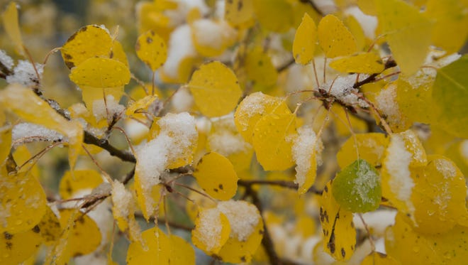 Snow accumulates on aspen leaves showing their fall colors in an early season storm near Ouray, Colorado on Saturday, September 22, 2017.