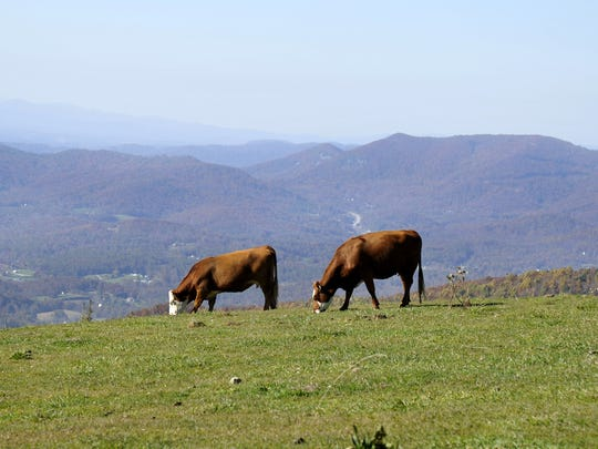 Cattle graze on the bald summit of Bearwallow Mountain. In the background looking toward Asheville US 74A is visible winding through the mountain passes. -- Bill Sanders
