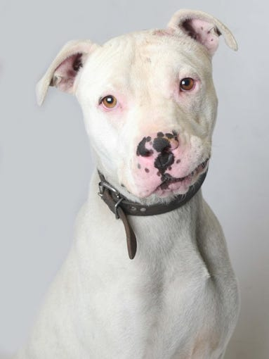 Big Boy is a 4-year-old American Bulldog. He is available at Young-Williams Animal Center and has been there the longest. For more information, call 865-215-6669 or visit www.young-williams.org.