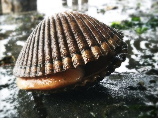 A new study of Puget Sound shellfish harvesters shows