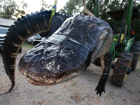 In this Saturday, Aug 16, 2014 photo, a large alligator weighing 1011.5 pounds measuring 15-feet long is pictured in Thomaston, Ala. The alligator was caught in the Alabama River near Camden, Ala., by Mandy Stokes and family, according to AL.COM. (AP Photo/Al.com, Sharon Steinmann)