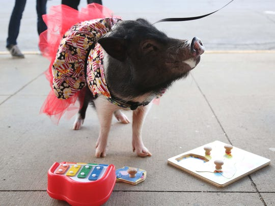 Joy, the 4-year-old American Mini Pig, does tricks