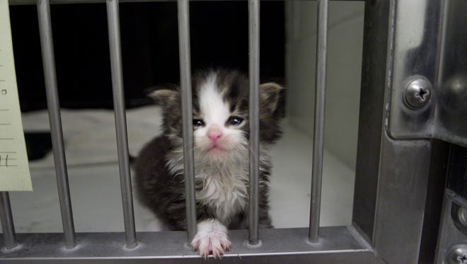 A small kitten looks up from her cage at the Indianapolis Humane Society hopefully waiting for adoption.