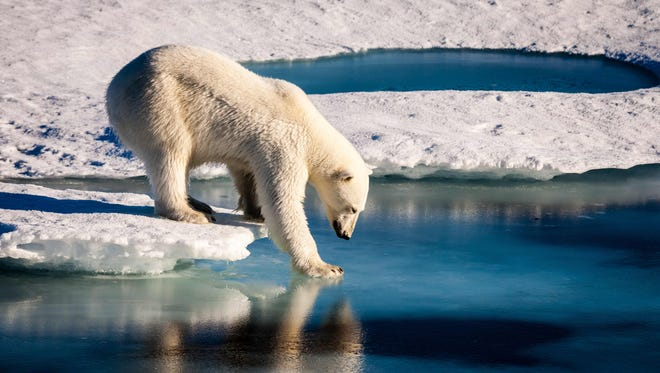 A polar bear tests the strength of thin sea ice in the Arctic in the summer of 2015.