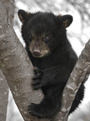 Black bear cubs have been known to stay in their mother's territory through much of the second year of their lives — and sometimes longer.