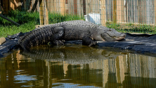 Godzilla, 9 feet long and 350 pounds, sits on the side of his pool and basks in the sun April 24, 2015, at Critchlow Alligator Sanctuary in Athens, Mich.