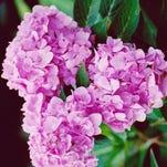 Penny Mac hydrangea reblooms