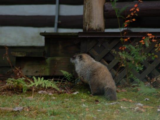 A groundhog enjoying the warmer weather.