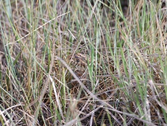 A bull snake just off the trail at Cathy Fromme Prairie
