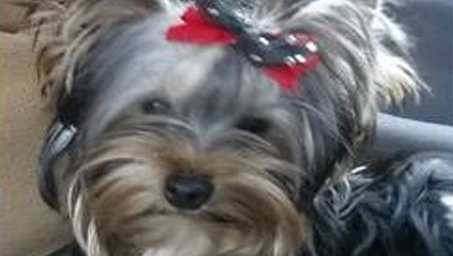 Mickey was one of two Yorkshire terriers stolen from a W. Manchester Twp. resident on Tuesday, March 29, 2016, police said.