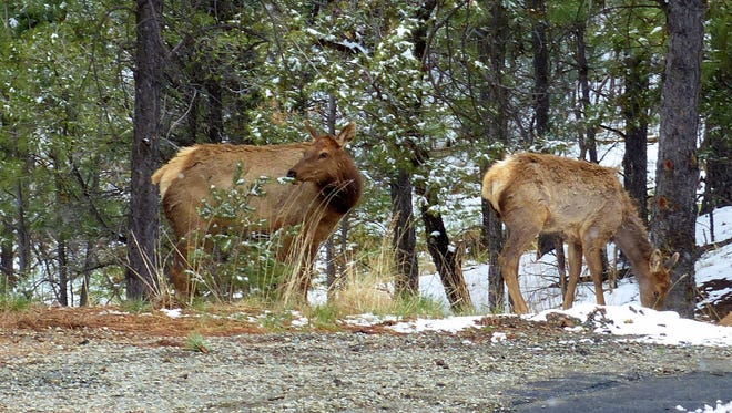 Two elk cows roam near houses on a road up  the side of Moon Mountain.