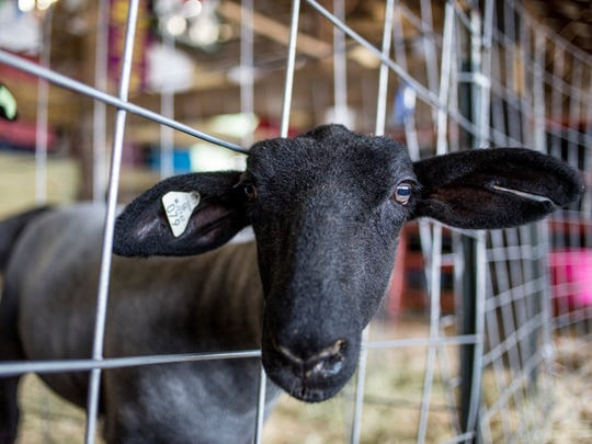 A lamb looks out from a pen during the junior livestock
