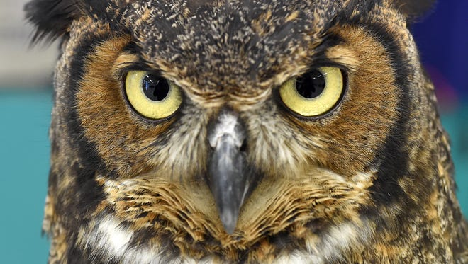 A Great Horned Owl eyes its surroundings Wednesday during a program on raptors at Nelson-Wilks-Herron Elementary School.