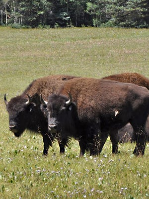 Bison on the Kaibab National Forest near the North Rim.