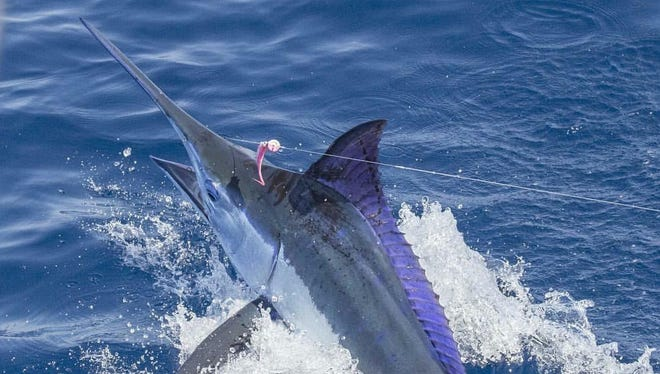 A 190-pound Pacific blue marlin caught by Space Coast guide and outdoors personality Capt. Jim Ross. The marlin was reeled in near Guatamala.