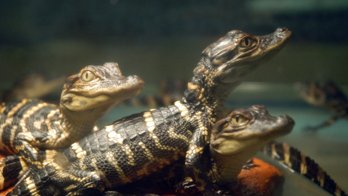 Alligator racketeering ring busted in (where else?) Florida