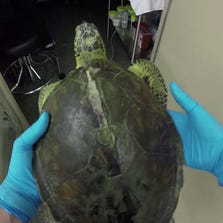 This turtle's shell likely was damaged from a boat strike.