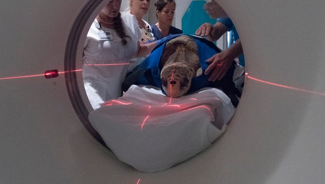 Gigi, the resident sea turtle at the Navarre Beach Sea Turtle Conservation Center, receives a diagnostic CT scan on Wednesday July 12, 2017, at Gulf Breeze Hospital.