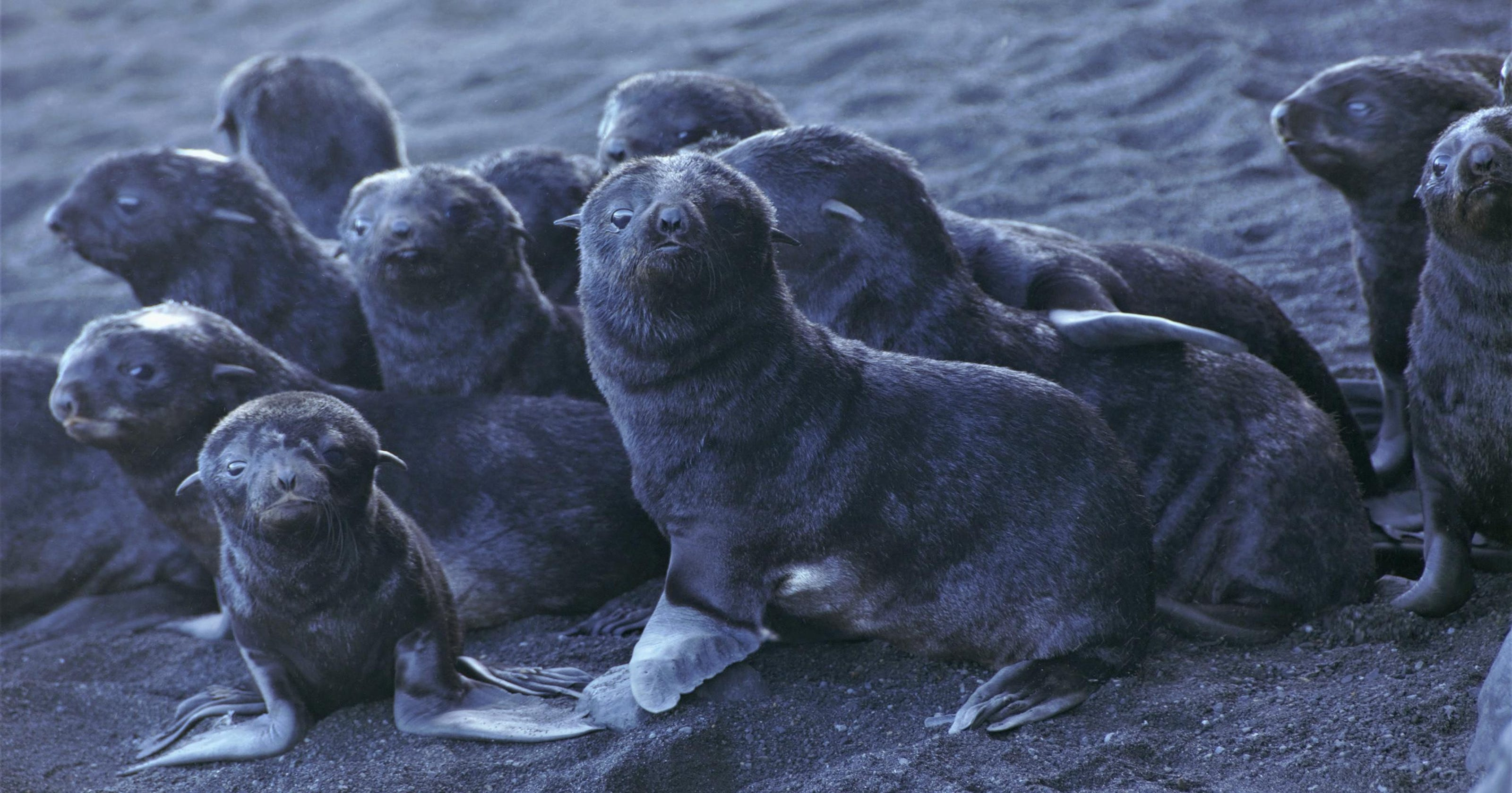 Fur seal pups, big balloon fest, runaway bull: News from around our 50 states