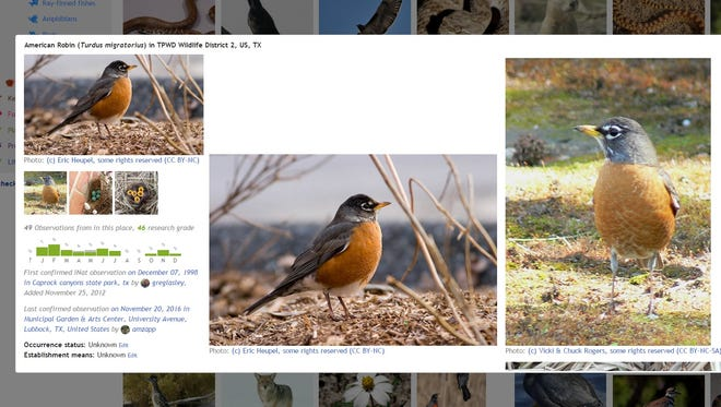 An American robin can be seen in a screen shot from the Texas Parks and Wildlife website.