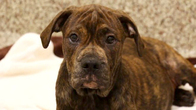 The Michigan Humane Society Cruelty Investigation Department is pursuing charges against a man who was found dragging a 3-month-old mastiff mix puppy by the leash down the street on Friday, July 15, 2016 near 8 Mile Road and Berg in Detroit. The puppy, now named Elmer, is receiving care at the MHS Mackey Center for Animal Care in Detroit and will be available for adoption into a loving home once he is healed.
