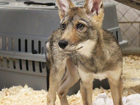 -animal-coyote2.jpg