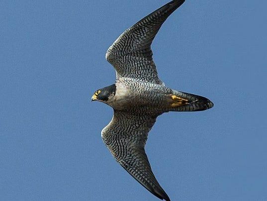 636531804497102367-Peregrine-falcon-USFS.jpg