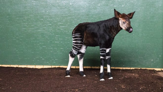Meghan the baby okapi at the zoo in London.