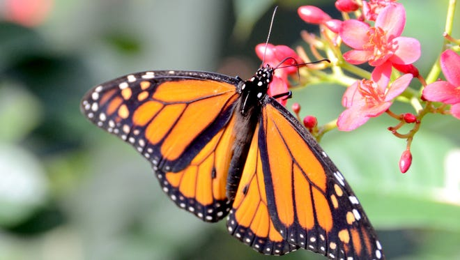 A monarch butterfly drinks from a flower at Butterfly Wonderland in Scottsdale on Saturday, Nov. 30, 2013. Credit: The Arizona Republic.