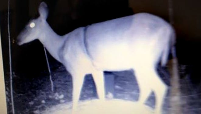 Deer camera captures image of fawn with snare around its body.
