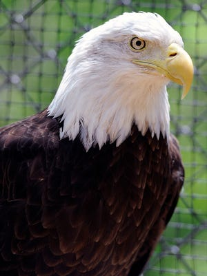 An eagle sits in one of the aviaries at the new Barbara J. Mapp Aviary Education Center at Radnor Lake State Natural Area on Saturday.