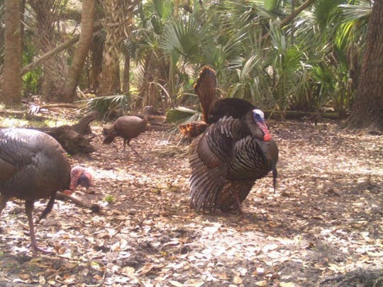 CONTRIBUTED PHOTO This game camera photo was provided on condition of anonymity and shows a male Osceola turkey and several hens gathered in the shade of the pine trees.