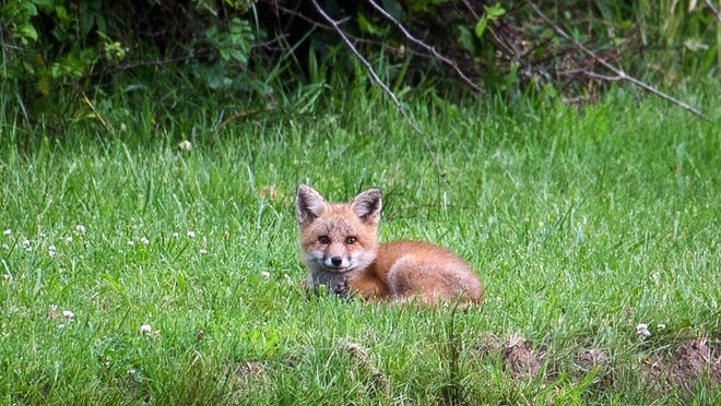 A red fox at Giralda Farms in Chatham Township.