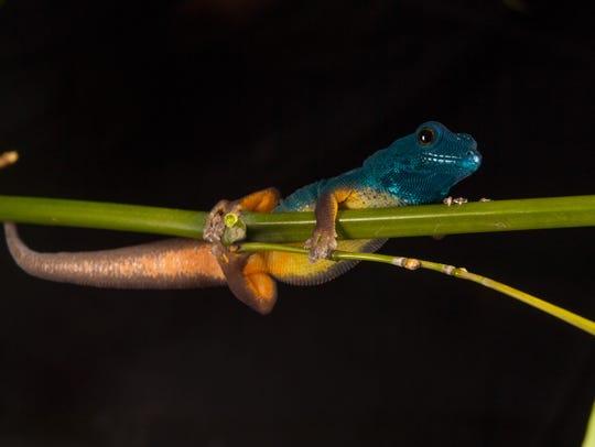 An electric blue gecko (Lygodactylus williamsi) clings