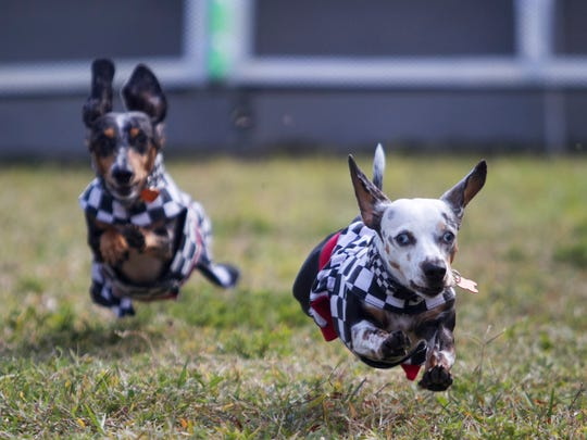 Roxie and Ruger, right, practice for the weiner dog races at the Edison Festival of Light Mutt Strutt last February in downtown Fort Myers.