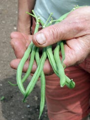 A handful of beans at Springdale Farm Thursday June