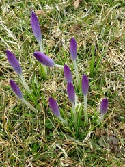 Crocus, one of the area's earliest blooming perinnials,