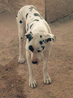 The Pinal County Sheriff's Office is investigating the death of Pearl, a Great Dane.
